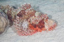 BD-100920-Fury-Shoal-1851-Scorpaenopsis-oxycephala-(Bleeker.-1849)-[Caledonian-devilfish].jpg